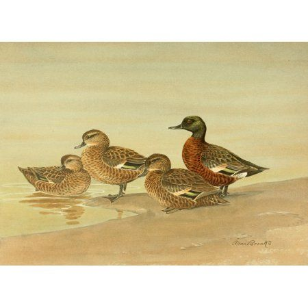 Nat History of Ducks 1925 Grey & Chestnut Teal Canvas Art - A Brooks (18 x 24)