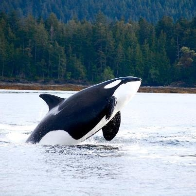 Breaching Orca from J-Pod- San Juan Islands Photo credit- Libby SmithOrca Pod Breaching