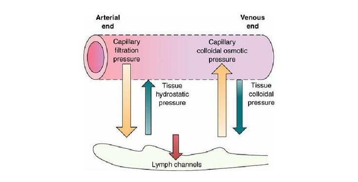 Hydrostatic pressure, capillary filtration pressure, capillary colloidal osmotic pressure
