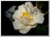 Nov. - April, Blüte bis zu 15 cm, winterhart ? Camellia Silver Lace