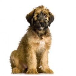 Il cane da pastore di Brie è un cane particolarmente esuberante ed allegro, fin troppo vivace per vivere in appartamento. Dotato di grande intelligenza, è affettuoso e dolce con la famiglia.