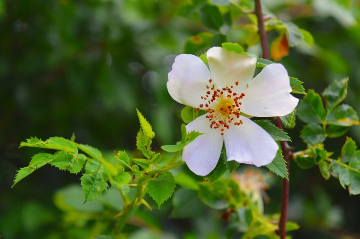 Hundsrose (Rosa Canina) und Heckenrose (Rosa Corymbifera) im Vergleich. Hagebutte Pflanzen Kaufen. Hagebuttenstrauch kaufen. Ernten & Verarbeiten.
