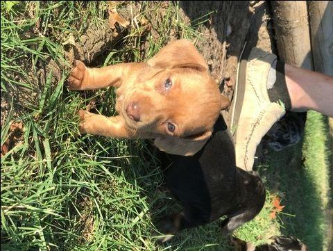 Dachshund puppy for sale in TULSA, OK. ADN-45788 on PuppyFinder.com Gender: Female. Age: 7 Weeks Old