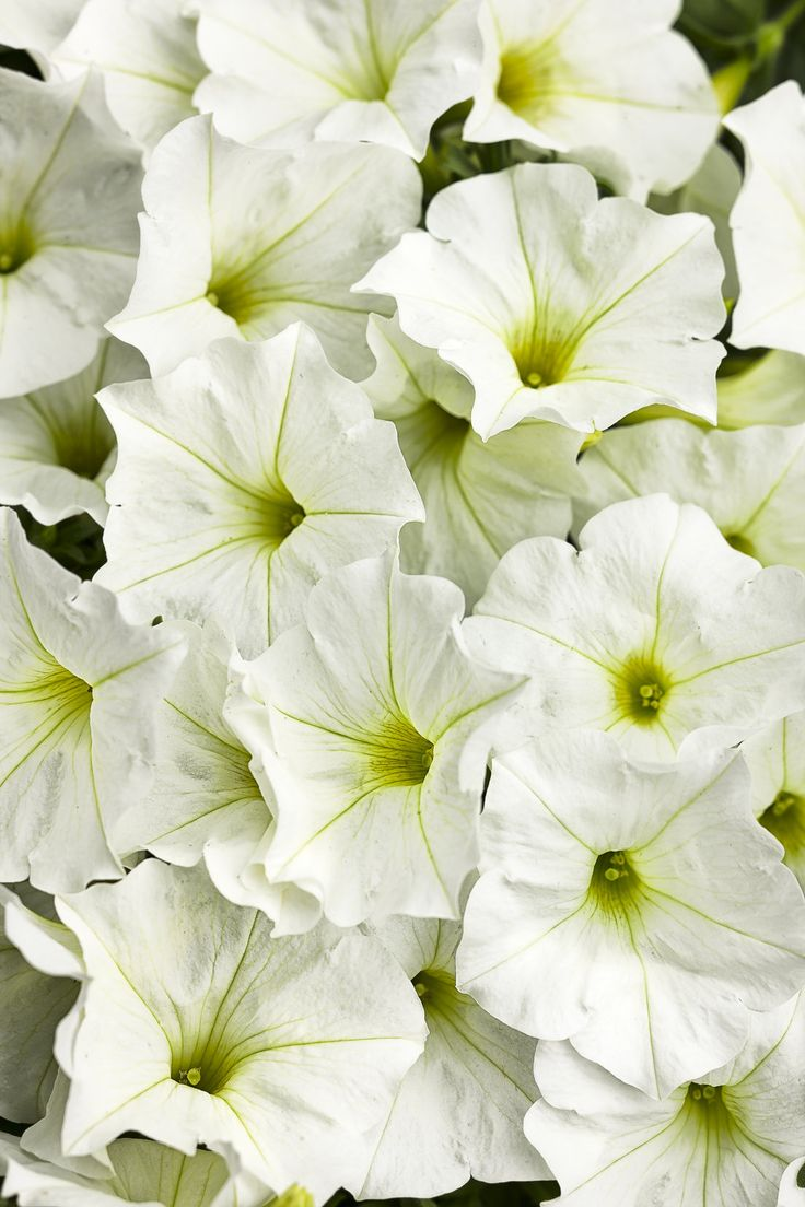 Nothing brightens up a landscape or mixed container like Supertunia White--the clear cottony blooms with a hint of yellow in the center mix well with any colors, or are beautifully simple on their own.   http://emfl.us/pFHd