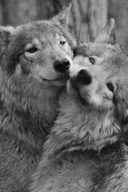 Les loups sont parmi les animaux qui restent toujours fidèles à leur compagnon ou leur compagne <3