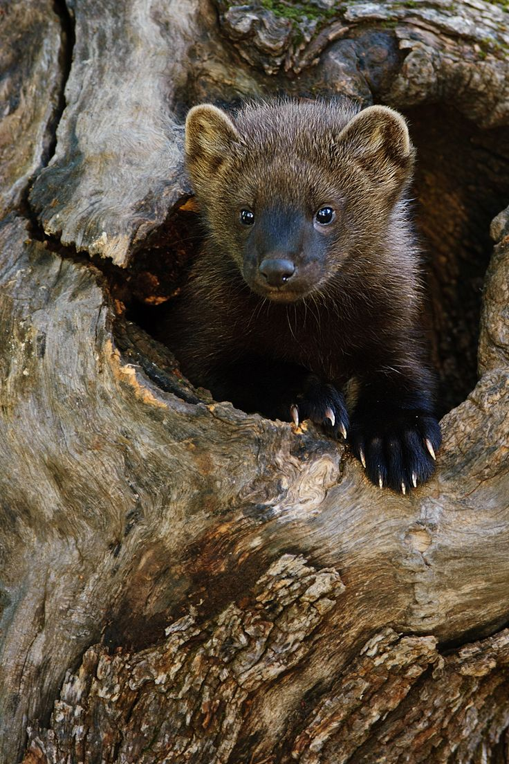Fisher cat - Martes pennanti, are members of the Marten Family