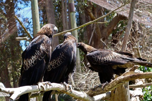 Wedge-Tailed #Eagles. Photo by Carol Haberle, article for think-tasmania.com #Tasmania