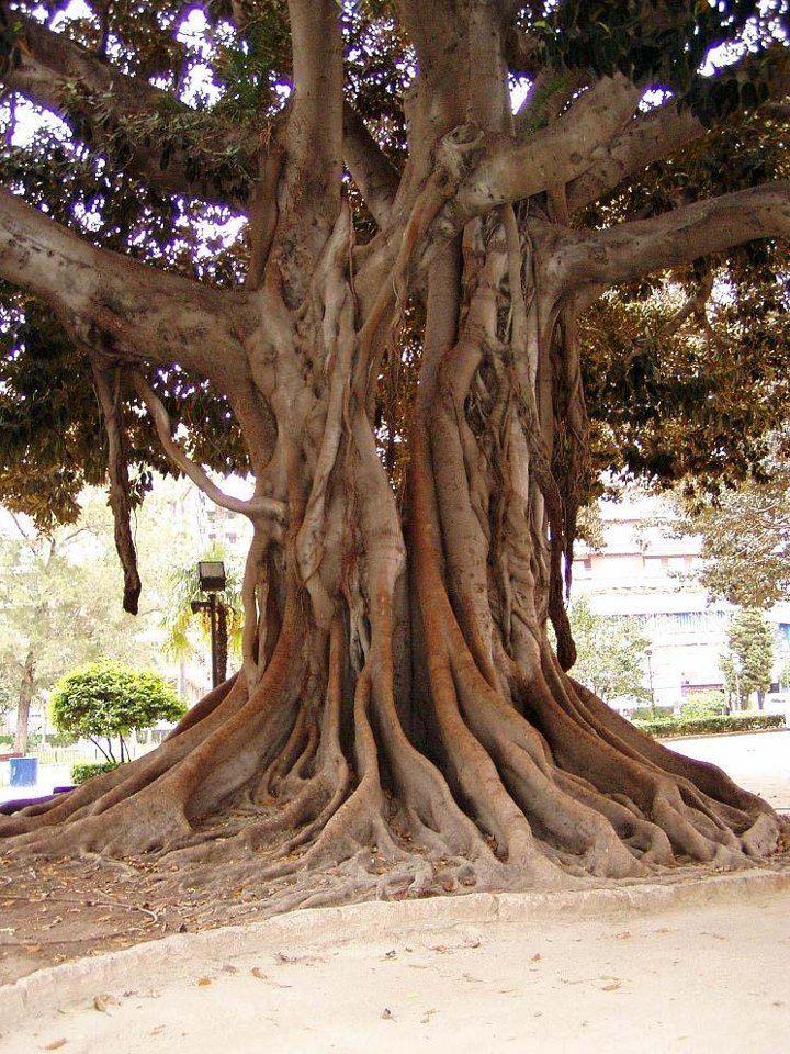 El famoso árbol de la Glorieta - Valencia. http://www.valenciabusturistic.com/