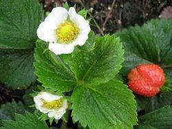 Growing Strawberries in a Raised Bed