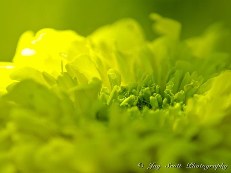 Yellow Marigold by Jay Scott, via 500px