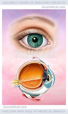 La fisiología del ojo humano. Ilustración Anatómica y descriptiva de las ....