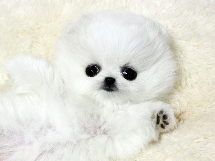 White Teacup pomeranian | Teacup Poms (one day I will have ...