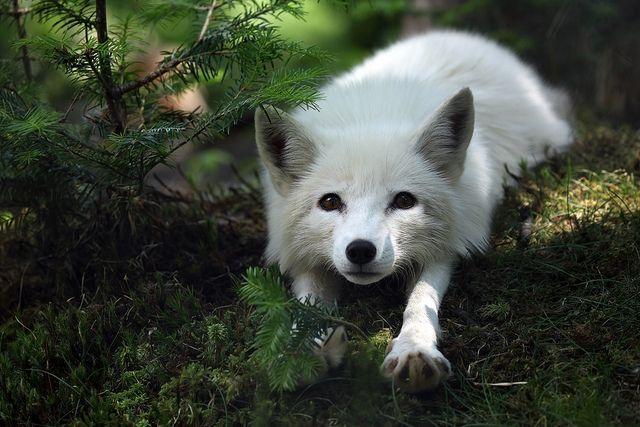 Arctic Fox  The Irish Loop,Newfoundland