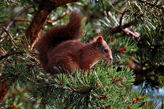 ekorn i furu`a   KvikneFoto   Flickr