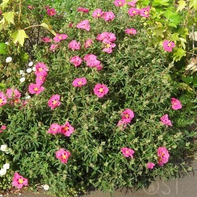 Cistus × purpureus the purple or orchid rock rose. It's easy to see why this is one of the most popular ones grown. Evergreen and lots and lots of colourful large (for a rock rose anyway) flowers in summer.