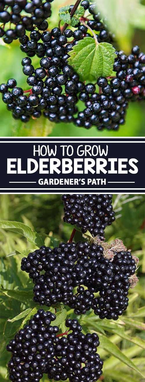The elderberry makes a beautiful addition to any yard. Learn about the available varieties, and how to make them thrive in a domestic setting, plus harvesting tips and more. Everything you need to succeed is at Gardener's Path. Read more now!