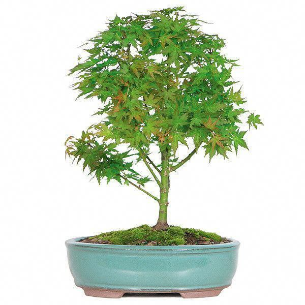 The Japanese Green Maple Bonsai Tree From Nursery Tree Wholesalers Is Considered To Be An Extremely Va Bonsai Trees For Sale Bonsai Tree Care Bonsai Tree Types