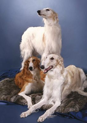 Portrait of three borzois. #borzoi #dogs #Russian