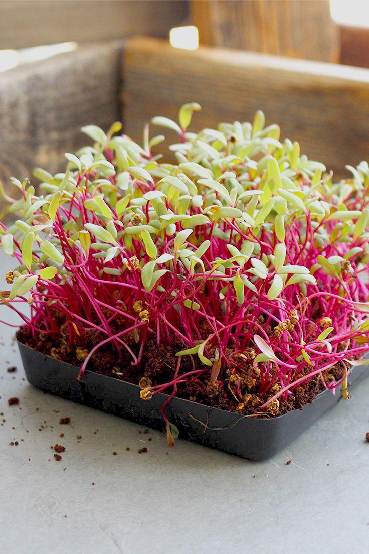 Non Gmo Detroit Dark Red Beet Microgreens Seeds Up To Bulk Wholesale In 2021 Microgreens Growing Microgreens Winter Vegetables Gardening