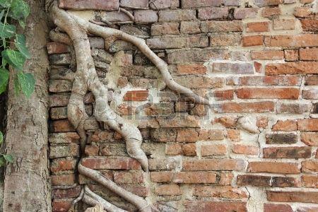 les racines des arbres de banian s enchev trent envahi vieux mur de brique dans…