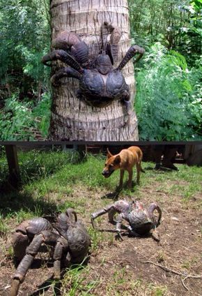 Coconut crabs can grow up to 1 meter in length from leg tip to leg tip  (Source)