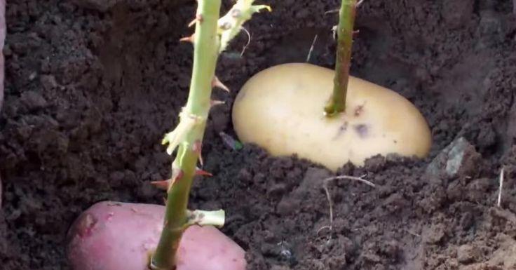 Он втыкает розу в картошку и сажает ее в горшок. Через неделю вырастает…