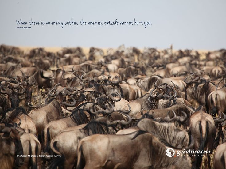 'When there is no enemy within, the enemies outside cannot hurt you.' The Great Migration, Kenya.  Click here for downloadable #inspirational #migration #wallpapers: HD desktop: https://imglib_g2a.s3.amazonaws.com/img/20141223_031234_1_1.jpg iPad tablet: https://imglib_g2a.s3.amazonaws.com/img/20141223_030955_1_1.jpg