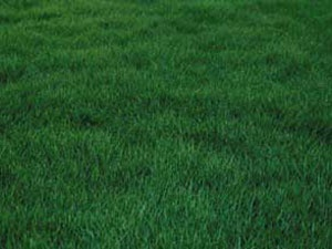 24 best images about cesped on pinterest pathways - Zoysia tenuifolia ...