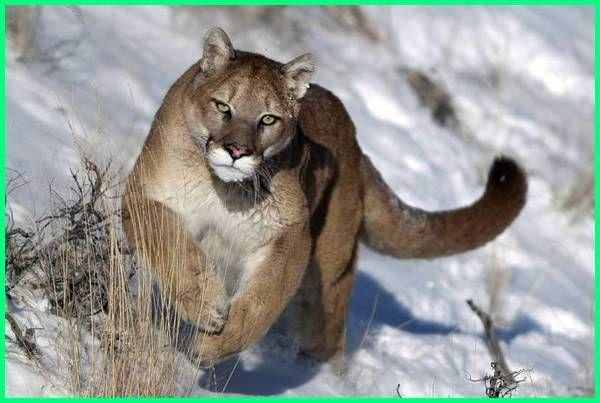 25 Contoh Nama Binatang Buas Berbahaya Binatang Buas Binatang