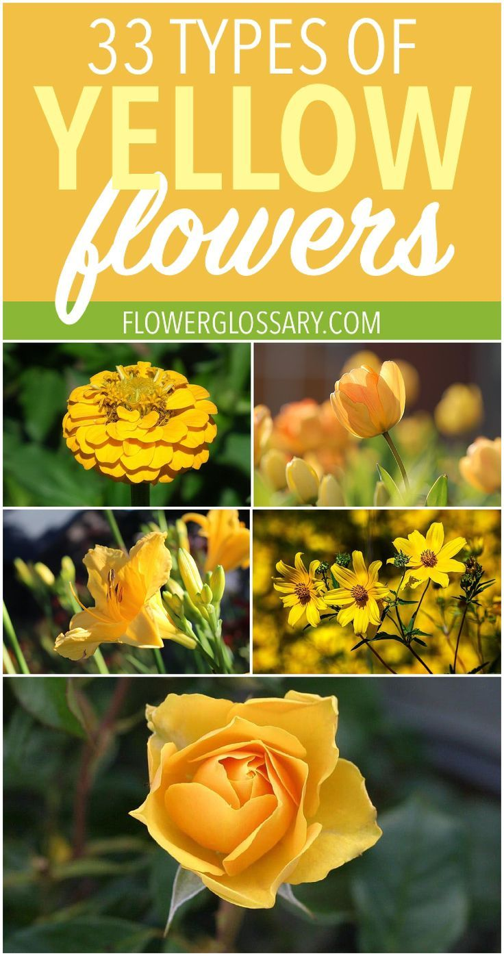 33 Types Of Yellow Flowers For Anyone Looking For A Detailed List And Pictures Of Yellow Flowers Yellow Flowers Are Yellow Flowers Flowers Flowers Perennials