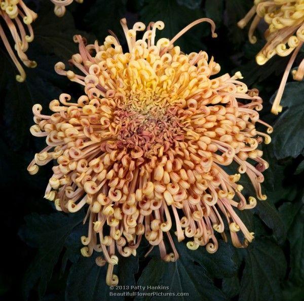 Dusky Queen Spider Chrysanthemum © 2013 Patty Hankins
