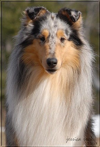 blue merle collie..