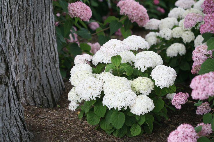 Invincibelle+Wee+White™+-ANNABELLE HYDRANGEA DWARF SIZE +Smooth+hydrangea+-+Hydrangea+arborescens