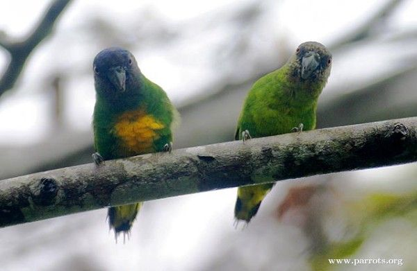 Pygmy Parrot | Pair of Geelvink Pygmy Parrot, Numfor subspecies. This is the smallest parrot ...