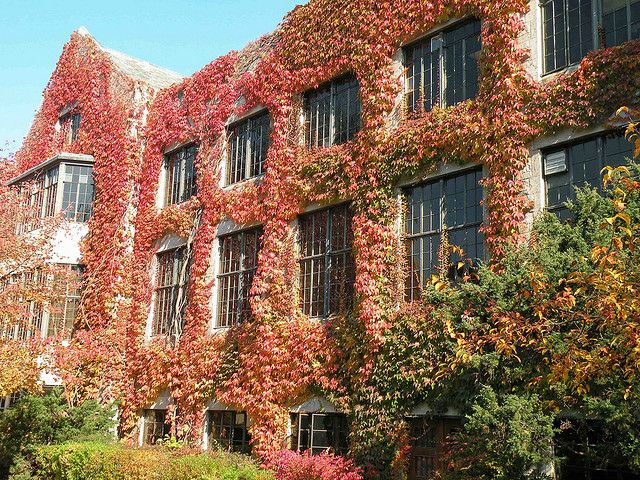 A beautiful Vine-covered wall at Northwestern University in Evanston, Illinois.
