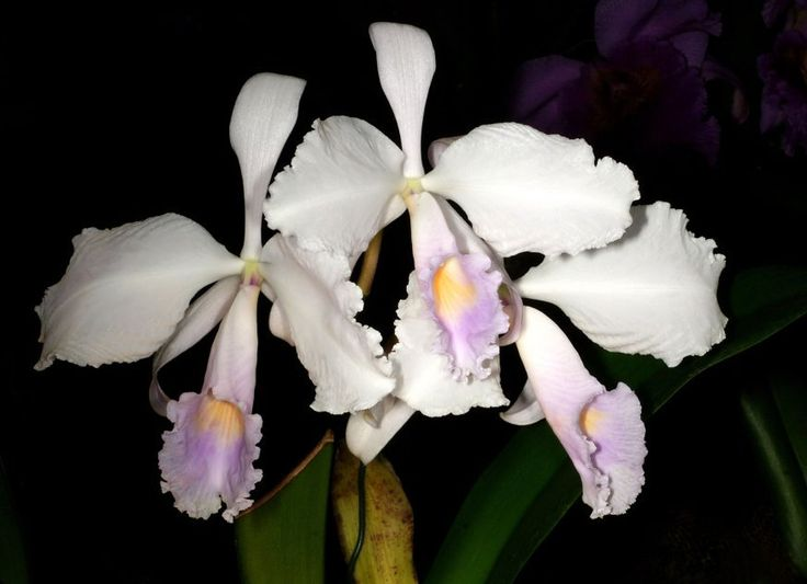 Orchidea Fot. Orchi - wikimedia.commons CC BY SA 3.0