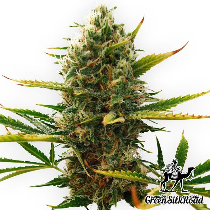 Auto Super Skunk Feminised is a positive strain able to please with the classic skunk flavor and generous productivity, which allows to receive not less than 300 g / m². The shrubs do not exceed 120 cm in height, making it a perfect option for any method of cultivation. This simple strain will give you a wonderful harvest, leaving a lot of positive emotions and an impressive number of high-quality stuff with a high percentage of THC