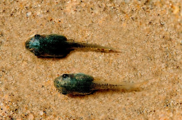 L. dentata tadpoles