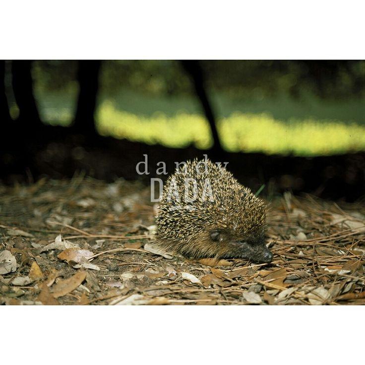 #Hedgehog Limited Edition on sale on dandydada.com #animal #nature #photo #art #fineart