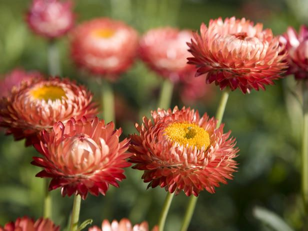 Strawflower - tolerates full sun, heat, drought and poor soil. Grow 3-4 feet but dwarf varieties are available (found some on ebay!) Flowers can be red, yellow, orange, rose, pink or white. Attracts butterflies :)