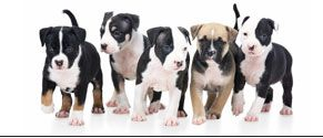 Types Of Pitbulls | Types Of Pit Bulls | Pitbull Types