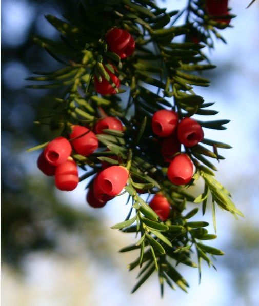 Yew Berries Poisonous Red Or Blue Berries On Evergreen