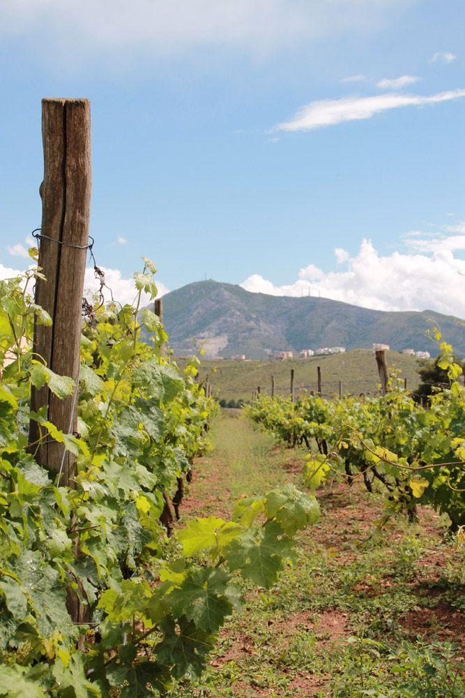 Vineyard, Kokotos Estate, Attica, Greece