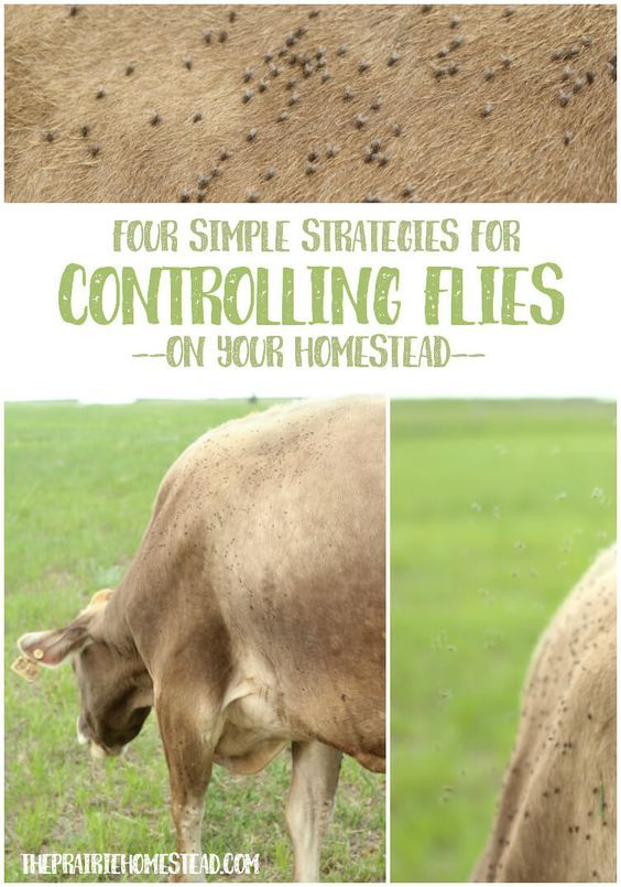 I love these 4 chemical-free strategies for fly control on the farm or homestead. Especially #3!