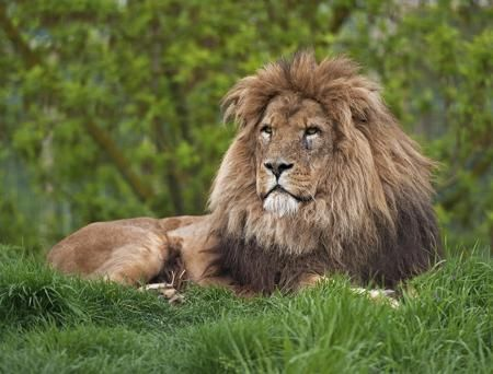 Lion sitting on grasses