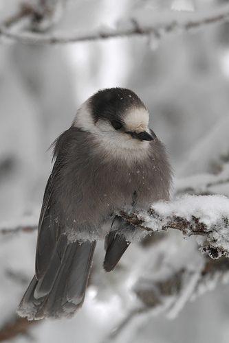 gray jay   Flickr - Photo Sharing!