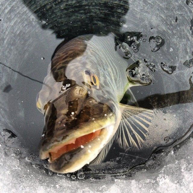 17 best images about fishing on pinterest spinning for Cabela s ice fishing