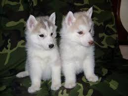 Resultado de imagen para lobos bebes