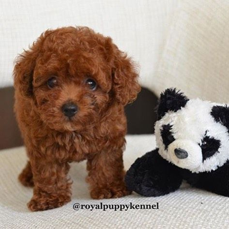 Super cute red tiny toy poodle for sale! (Indonesians only) Check out @royalpuppykennel  by londonthecorgi