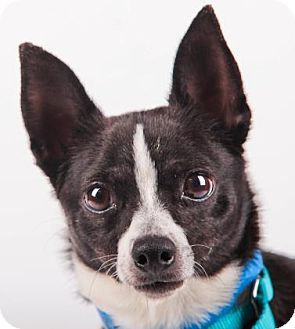 Pictures of Buster a Chihuahua for adoption in Colorado Springs, CO who needs a loving home.